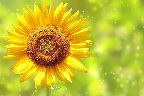 Ảnh đẹp hoa hướng dương